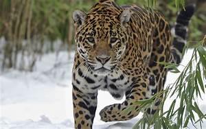Jaguar HD Wallpaper   Background Image   2560x1600   ID ...