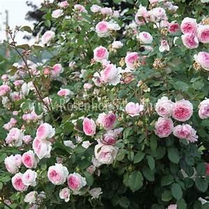 Rosen Für Rosenbogen : james galway rosen online kaufen im rosenhof schultheis rosen online kaufen im rosenhof ~ Orissabook.com Haus und Dekorationen