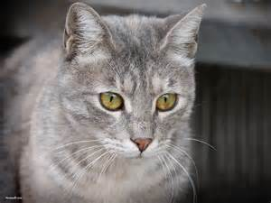 gray cats xmwallpapers wallpaper animals cats and kittens