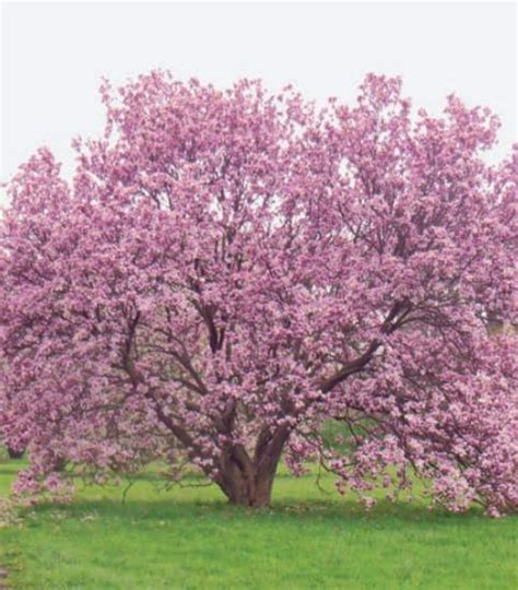 magnolia tree when to plant best 25 magnolia trees ideas on pinterest pink trees trees to plant and landscaping trees