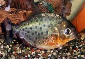 Porcupine! 30- Vertebrates-Piranha=man-eating fish?