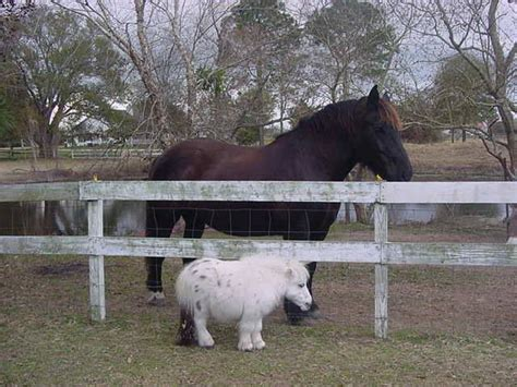 horses mini horse miniature pony ponies cute fluffy dwarfism baby animals comparison adorable dwarf tiny luvbat pretty face pets farm