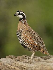 Bobwhite Quail: Another memory from Mamaw's house ...