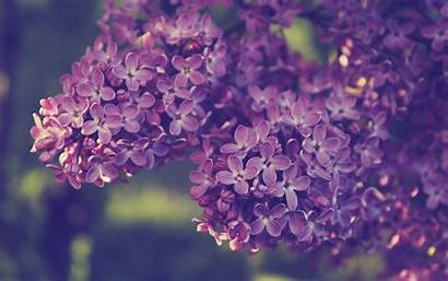 Lilac Flowers Backgrounds Wallpapers Syringa Purple Spring
