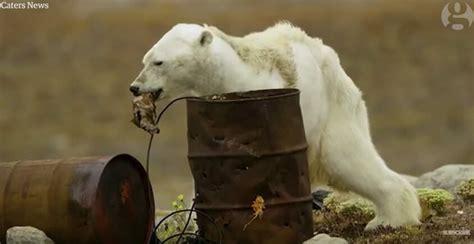 uitgehongerde ijsbeer toont waarom  voor onze planeet