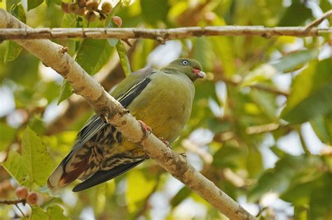 african green african green pigeon on a branch photo and wallpaper all