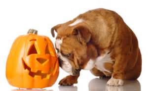 Pumpkin For Diarrhea In Dogs keeping pets safe at halloween the local weekly