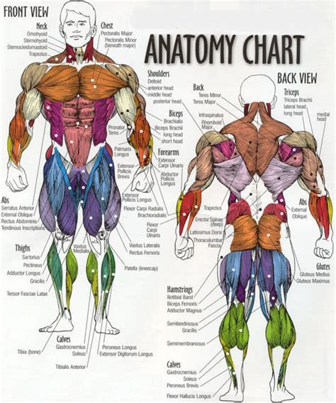 As these muscles contract and relax, they move skeletal bones to create movement of the body. Leg Muscles Diagram and the Cure!