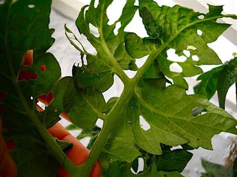 garden bug  patrols  tomatoes