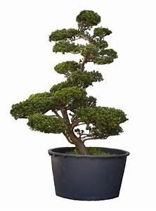 japanischer bonsai taxus cuspidata naturstein dekoration With französischer balkon mit garten bonsai shop