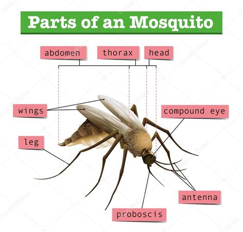 different parts of mosquito stock vector 169 blueringmedia