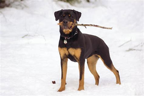 rottweiler snow dogs bunny dog breeds puppy rottweilers female talitha reverse training awesome male flickr train easy smartest sneezing choosing