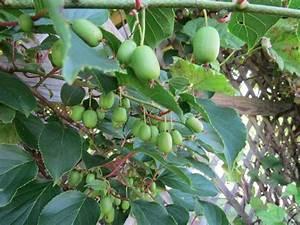 Mini Kiwi Schneiden : kiwibeere ist eine pflegeleichte kletterpflanze garten kiwi anpflanzen kiwi und garten ~ Orissabook.com Haus und Dekorationen