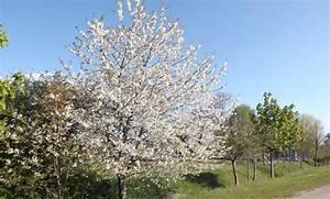 Kirschbaum Richtig Schneiden : kirschbaum schneiden ~ Lizthompson.info Haus und Dekorationen