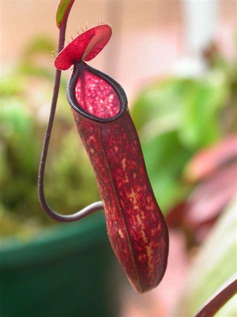 pitcher plant pitcher plant ust greenhouse project
