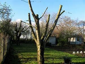Kirschbaum Richtig Schneiden : einen obstbaum zu stark zur ckgeschnitten der gartenratgeber ~ Frokenaadalensverden.com Haus und Dekorationen
