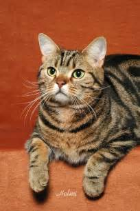 american shorthair cat american shorthair cat 2 poc