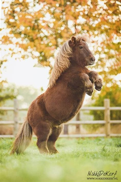 pony horse mini shetland ponies miniature horses cute animals lil sebastian fat baby cutest chubby funny pretty rearing welcome stallion