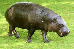 Pygmy hippopotamus; Whipsnade; 8th June 2013 | ZooChat