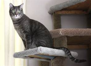 gray tabby cat gray tabby cat perched on kitty climbing tree picture