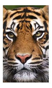 What is the best place to see tigers in India? - Natural ...
