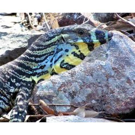 lace monitors  monitor lizards amazing amazon