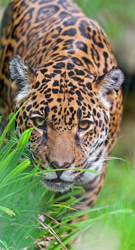 Female Jaguar Picture Tambako The