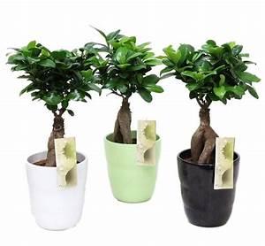 Bonsai Ficus Ginseng : bonsai ficus ginseng in a relief pot 13 cm florastore ~ Buech-reservation.com Haus und Dekorationen