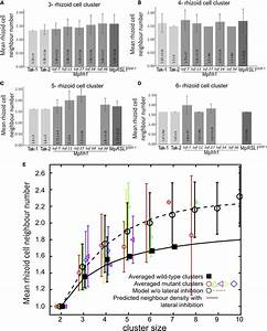 More Rhizoid Cell Neighbors Develop In Mpfrh1 Lof And