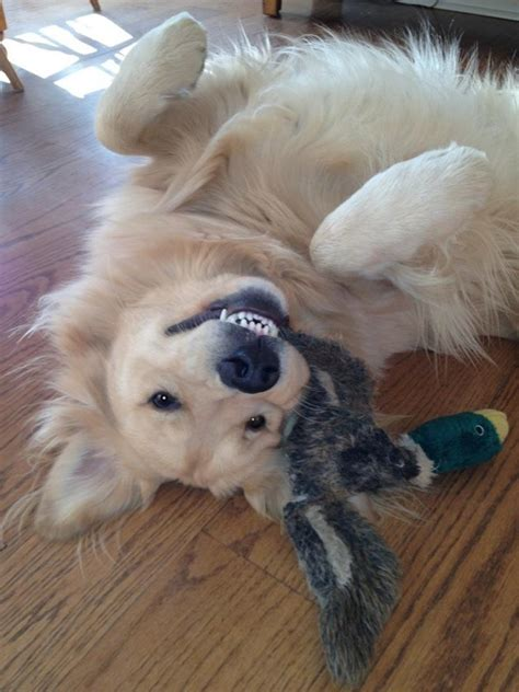 Pics That Sum Up What Its Like To Own A Golden Retriever