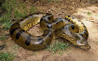 Anaconda Wallpapers Eunectes Murinus Ular Sungai Hijau