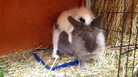 Kaninchen Auf Verfolgung  Rammeln Revierkampf Ii Youtube