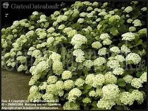Hortensien Schneiden Verblüht : schneeballhortensien pflanzen f r nassen boden ~ Frokenaadalensverden.com Haus und Dekorationen