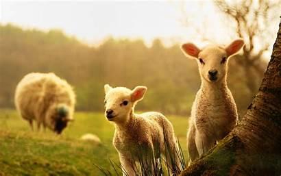 Farm Animals Desktop Wallpapertag