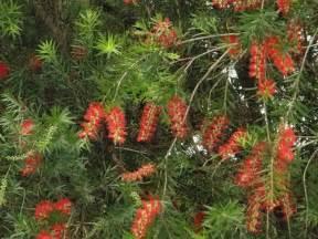 trees plants more the bottle brush tree callistemon viminalis the sunbird