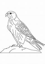 Falcon Coloring Pages Bird Doberman Peregrine Drawing Hawk Colouring Pinscher Printable Saker Falcons Millennium Sheets Prairie Preschool Drawings Wolf Preschoolcrafts sketch template