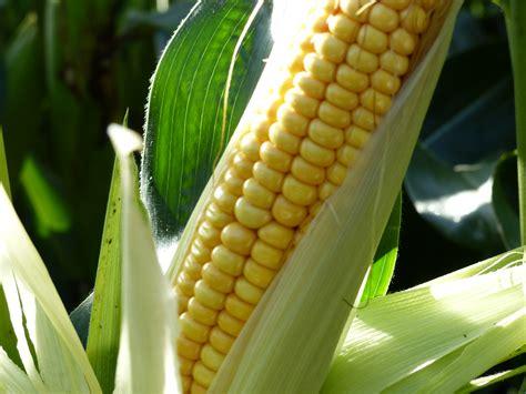 Mas 06T - Bright Maize