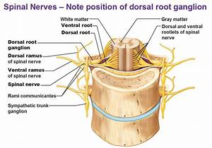 Peripheral Nervous System  Spinal Nerves And Plexuses
