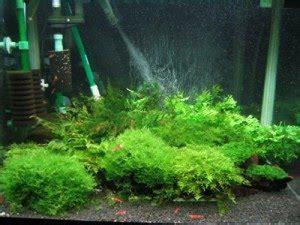 udang hias setup aquarium udang hias