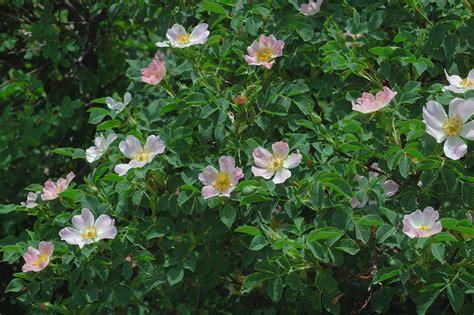Garten Kaufen Kernen by Hagebutte Pflanzen Kaufen Hundsrose Heckenrose Hagebutte