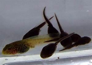 Newt Surveys Amphibian Surveys