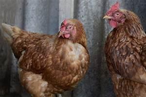 Fréquence Ponte Poule : poule pondeuse particularit s races et prix des poules pondeuses ~ Melissatoandfro.com Idées de Décoration