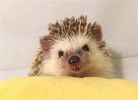 The Adorable Tiny Hedgehog Become Instagram's Newest Star