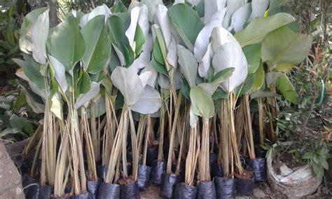 tanaman pisang kalatea pisang hias kalatea