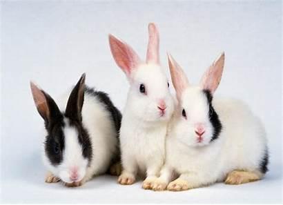 Rabbit Wallpapers Animals Hdwallpapersfreedownload