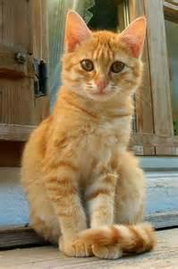 tabby cat orange orange tabby cats