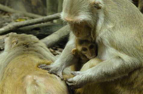 social status alters immune response  monkeys national