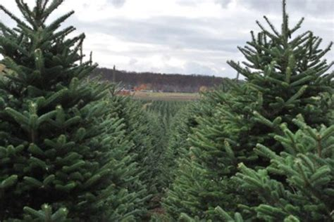 Christmas In July National Tree Competition Comes To