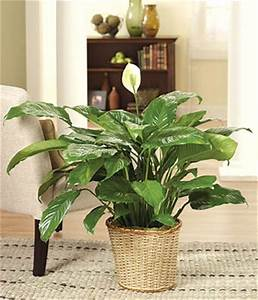 Peace Lily at From You Flowers