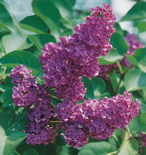 lilas double lilas syringa arbuste  fleurs violettes